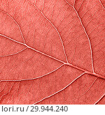 Купить «Detailed macro photo of leaf with veins n a color of the year 2019 Living Coral pantone. Natural background for your ideas. Flat lay», фото № 29944240, снято 14 августа 2018 г. (c) Ярослав Данильченко / Фотобанк Лори