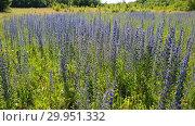 Купить «beautiful meadow with blooming Salvia Superba in Russia», видеоролик № 29951332, снято 13 февраля 2019 г. (c) Володина Ольга / Фотобанк Лори