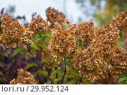 Гортензия метельчатая Ваниль Фрэз / Рени. Hydrangea paniculata Vanille Fraise / Rehny. Штамб. Стоковое фото, фотограф Ольга Сейфутдинова / Фотобанк Лори