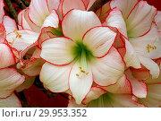 Купить «Hippeastrum Picotee, amaryllis», фото № 29953352, снято 5 июня 2020 г. (c) age Fotostock / Фотобанк Лори