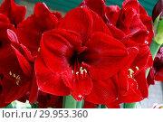 Купить «Hippeastrum Benfica, amaryllis», фото № 29953360, снято 5 июня 2020 г. (c) age Fotostock / Фотобанк Лори