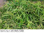 Cyperus diffusus, flatsedge. Стоковое фото, фотограф Luigi Galperti / age Fotostock / Фотобанк Лори
