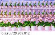 Купить «Pots of geraniums are on the shelf in a large flower shop.», фото № 29969812, снято 16 января 2019 г. (c) Акиньшин Владимир / Фотобанк Лори