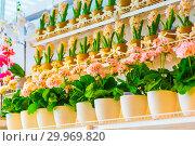 Купить «Pots of geraniums are on the shelf in a large flower shop.», фото № 29969820, снято 16 января 2019 г. (c) Акиньшин Владимир / Фотобанк Лори