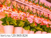Купить «Pots of geraniums are on the shelf in a large flower shop.», фото № 29969824, снято 16 января 2019 г. (c) Акиньшин Владимир / Фотобанк Лори