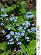 Купить «Многолетнее растение Незабудка (лат. Myosotis)», эксклюзивное фото № 29969944, снято 8 мая 2015 г. (c) lana1501 / Фотобанк Лори
