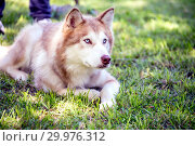 Купить «Alaskan Malamute lies at the feet of the owner.», фото № 29976312, снято 11 августа 2018 г. (c) Акиньшин Владимир / Фотобанк Лори
