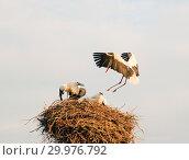 Купить «The stork flies up to its nest with sitting Chicks», фото № 29976792, снято 29 июля 2018 г. (c) Алексей Маринченко / Фотобанк Лори