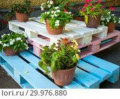 Цветочные горшки стоят на разноцветных деревянных паллетах. Стоковое фото, фотограф Вячеслав Палес / Фотобанк Лори