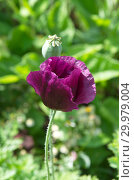Купить «Цветущий мак в летнем саду», фото № 29979004, снято 22 июля 2018 г. (c) Елена Коромыслова / Фотобанк Лори