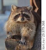 Nice Raccoon (Procyon lotor). Animal Portrait. Стоковое фото, фотограф Валерия Попова / Фотобанк Лори