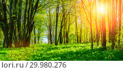 Forest spring landscape - forest trees with grass on the foreground and sunlight shining through the forest trees. Sunny colorful forest spring nature. Стоковое фото, фотограф Зезелина Марина / Фотобанк Лори