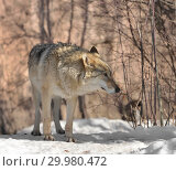 Купить «Portrait of Eurasian wolf (Canis lupus lupus) (female) in winter», фото № 29980472, снято 17 февраля 2019 г. (c) Валерия Попова / Фотобанк Лори