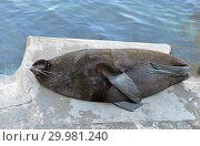 Northern fur seal (Callorhinus ursinus) is sleeping. Стоковое фото, фотограф Валерия Попова / Фотобанк Лори