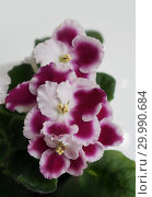 Купить «Сортовая Узамбарская фиалка - Saintpaulia (African violet )», фото № 29990684, снято 21 февраля 2020 г. (c) ElenArt / Фотобанк Лори