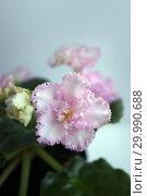 Купить «Сортовая Узамбарская фиалка - Saintpaulia (African violet )», фото № 29990688, снято 21 февраля 2020 г. (c) ElenArt / Фотобанк Лори