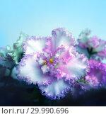 Купить «Сортовая Узамбарская фиалка - Saintpaulia (African violet )», фото № 29990696, снято 22 мая 2019 г. (c) ElenArt / Фотобанк Лори