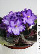 Купить «Сортовая Узамбарская фиалка - Saintpaulia (African violet )», фото № 29990704, снято 21 февраля 2020 г. (c) ElenArt / Фотобанк Лори