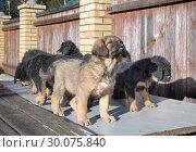 Купить «Tibetan Mastiff puppies», фото № 30075840, снято 29 марта 2014 г. (c) Сергей Лаврентьев / Фотобанк Лори
