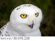Купить «Snowy Owl - Bubo scandiacus», фото № 30076228, снято 18 июля 2013 г. (c) Сергей Лаврентьев / Фотобанк Лори