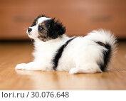 Купить «Papillon puppy lying on the floor», фото № 30076648, снято 29 января 2019 г. (c) Сергей Лаврентьев / Фотобанк Лори