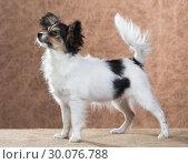Купить «Cute Papillon puppy», фото № 30076788, снято 24 октября 2013 г. (c) Сергей Лаврентьев / Фотобанк Лори