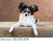 Купить «Cute Papillon puppy», фото № 30076876, снято 24 октября 2013 г. (c) Сергей Лаврентьев / Фотобанк Лори
