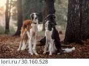 Купить «Russian borzoi dogs portrait in an autumn park», фото № 30160528, снято 23 октября 2016 г. (c) Julia Shepeleva / Фотобанк Лори
