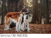 Купить «Russian borzoi dogs portrait in an autumn park», фото № 30160532, снято 23 октября 2016 г. (c) Julia Shepeleva / Фотобанк Лори