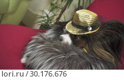 Купить «Papillon dog in beautiful suit in a fur coat and a concert hat with a butterfly is removed in the clip stock footage video», видеоролик № 30176676, снято 6 февраля 2019 г. (c) Юлия Машкова / Фотобанк Лори