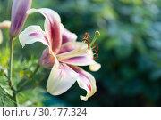 Декоративная бело-красная лилия на зелёном фоне. Стоковое фото, фотограф Светлана Попова / Фотобанк Лори