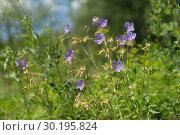 Купить «Дикорастущее растение герань луговая {Geranium pratense} цветёт на зелёной поляне в лесу», фото № 30195824, снято 4 июля 2017 г. (c) Светлана Попова / Фотобанк Лори