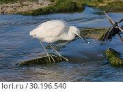 Купить «Small white Heron catches small fish in the water», фото № 30196540, снято 13 февраля 2019 г. (c) Наталья Волкова / Фотобанк Лори
