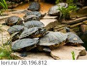 Купить «Red-Eared Slider Turtles», фото № 30196812, снято 19 июля 2017 г. (c) Наталья Двухимённая / Фотобанк Лори
