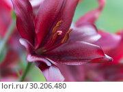 Блестящая винно - красная лилия крупным планом в саду. Стоковое фото, фотограф Светлана Попова / Фотобанк Лори