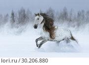 Купить «Серая лошадь с длинной гривой скачет по снегу сквозь метель», фото № 30206880, снято 5 января 2019 г. (c) Абрамова Ксения / Фотобанк Лори