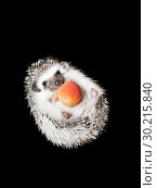 African pygmy hedgehog isolated on black background. Стоковое фото, фотограф Евгения Литовченко / Фотобанк Лори