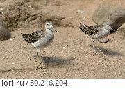 Купить «Ruff (Calidris pugnax), medium-sized wading bird. Two birds», фото № 30216204, снято 18 июля 2018 г. (c) Валерия Попова / Фотобанк Лори