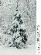 Купить «young spruce in the winter forest, beautiful landscape», фото № 30224716, снято 4 февраля 2018 г. (c) Константин Лабунский / Фотобанк Лори