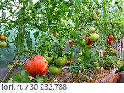 Теплица с помидорами. Стоковое фото, фотограф Мельникова Надежда / Фотобанк Лори