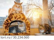 Купить «Three friendly cats lie on the veranda, an American shorthair cat, a cat of the British breed and a Russian Siberian cat.», фото № 30234060, снято 14 марта 2016 г. (c) Акиньшин Владимир / Фотобанк Лори
