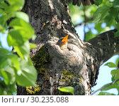 Купить «Птенец скворца обыкновенного (Sturnus vulgaris)», фото № 30235088, снято 25 мая 2018 г. (c) EgleKa / Фотобанк Лори
