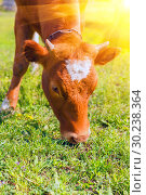 Купить «A brown cow grazes on a meadow and eats a young spring grass.», фото № 30238364, снято 7 мая 2016 г. (c) Акиньшин Владимир / Фотобанк Лори