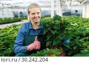 Купить «Young woman gardener in gloves working with euphorbia pulcherrima in pots», фото № 30242204, снято 3 октября 2018 г. (c) Яков Филимонов / Фотобанк Лори