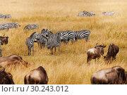 Купить «Groups of zebra and wildebeests in the field», фото № 30243012, снято 19 августа 2015 г. (c) Сергей Новиков / Фотобанк Лори
