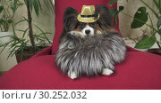 Купить «Papillon dog in beautiful suit in a fur coat and a concert hat with a butterfly is removed in the clip stock footage video», видеоролик № 30252032, снято 6 февраля 2019 г. (c) Юлия Машкова / Фотобанк Лори