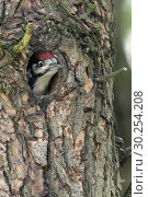 Купить «Greater / Great Spotted Woodpecker / Buntspecht ( Dendrocopos major ), juvenile, chick, looking out of nest hole, Europe.», фото № 30254208, снято 17 мая 2017 г. (c) age Fotostock / Фотобанк Лори