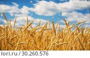Купить «Golden wheat field over blue sky at sunny day.», фото № 30260576, снято 17 июня 2019 г. (c) Sergey Borisov / Фотобанк Лори