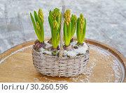 Гиацинты в корзинке. Стоковое фото, фотограф Елена Коромыслова / Фотобанк Лори