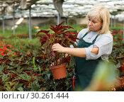 Купить «Mature female gardener working with begonia plants in pots in greenhouse», фото № 30261444, снято 20 августа 2018 г. (c) Яков Филимонов / Фотобанк Лори